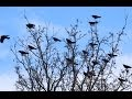 A Murder of Crows Nature Documentary
