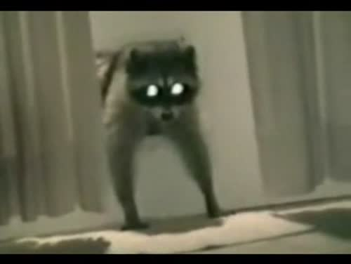 Raccoon Thief